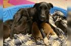 Una cagnolina adotta dei cuccioli rimasti orfani dopo aver partorito e perso i propri piccoli