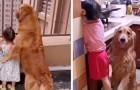 Un tierno Golden Retriever cuida a la hija de los dueños como si fuera su niñera