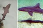 Nasce uno squalo in una vasca d'acquario popolata da sole femmine: il raro evento