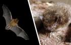 Video  Pipistrelli