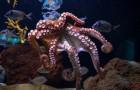 Weibliche Kraken werfen Gegenstände auf Männchen, die unerwünschte