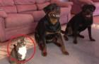 De två hundarna ska lära sig rulla runt, matte räknar dock inte med att en tredje deltagare ansluter sig. En katt!