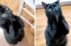 Questo gatto riesce a chiedere il cibo ai padroni