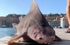 Seltener Schweinefisch in Italien gefunden: grunzt wie ein Schwein