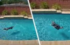 Hij profiteert van de afwezigheid van de eigenaren om te genieten van het zwembad: de hilarische prestatie van deze hond