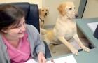 Leva seus cachorros para o trabalho: o modo como a ajudam é espetacular!