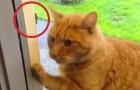 Deze kat wil terug in het huis: kijk naar zijn oplossing