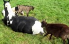 A horse tries to rest, the reaction of the goats is hilarious
