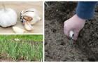 L'automne est le bon moment pour planter de l'ail : découvrez comment le faire très simplement