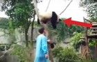 A panda is stuck on the tree: what happens next is the cutest thing I've ever seen !