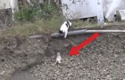 A little kitten is in real danger...mommy cat doesn't hesitate to save him... WOW!
