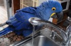 A parrot jumps on the sink: what happens next will make you smile ! :)