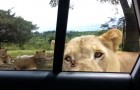 They are watching the lions at the zoo, but something unexpected happens that will make you jump!