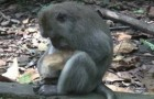 Scimmia adotta gattino