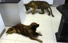 Le tigre veut boire dans la gamelle du chien