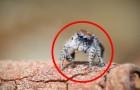 Sembra un ragno come gli altri, ma appena si muoverà resterete di stucco