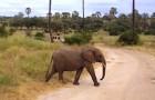 Due elefanti attraversano la strada, ma c'è una terza sorpresa in arrivo!