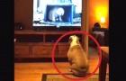 Sa pub préférée passe à la TV: la réaction du bouledogue est formidable