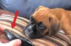 He puts mom on speakerphone: the reaction of the dog is super adorable !