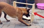 Bekijk dit simpele en GENIALE spelletje dat je hond uren bezig kan houden