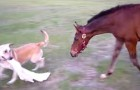 A dog grabs a towel, now look at the reaction of the horse ... AMAZING !!!