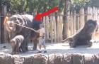 Ce que fait cet éléphant avec le balai démontre qu'il ne devrait pas être dans un zoo!