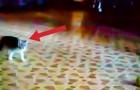 Eine Katze betritt das Zimmer und sieht einen Tennisball: Ihre Reaktion ist zu WITZIG!