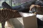 Ils mettent des cartons dans le parc des tigres... Leur réaction est surprenante!