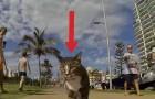 De manier waarop deze kat rond loopt door de stad laat voorbijgangers met open mond achter
