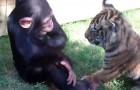 Um macaco, dois tigres e um lobo: a luta mais espetacular que você já viu!