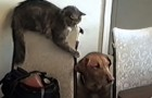 This cat is about to make a risky move: the consequences are hilarious !