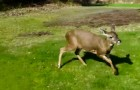Every year this deer comes out of the woods: the reason why is SPECIAL !