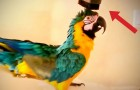 Lei accende l'aspirapolvere... la reazione del pappagallo è un vero spasso!