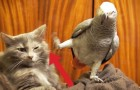 This parrot wants his friend's attention: his reaction is hilarious ...