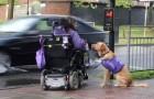 Cette femme handicapée a besoin d'aide: voilà ce que fait le chien pour elle chaque jour