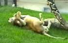 Este leão ficou preso em uma jaula por 13 anos: veja como reage quando é liberado em um gramado!