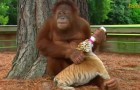 Ogni giorno questo orango scende dagli alberi per un motivo SPECIALE