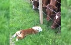 A bulldog approaches some cows: their reaction is unbelievable !