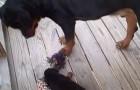 Deze pup laat zich niet snel van de kaart brengen!