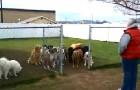 Elle met 16 chiens derrière un grillage: ce qu'ils font est surprenant et... il y a une fin surprise!