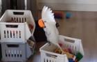 Ils filment le perroquet qui joue: ce qu'il fait avec la tasse est GÉNIAL!