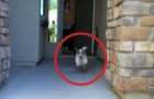 She opens the front door: what this little dog is about to do will put a big smile on your face