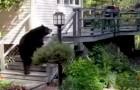 Een grote beer wil een woning betreden... de reactie van de oma is fenomenaal!