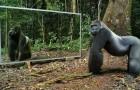 Mettono uno specchio nella foresta... Le reazioni degli animali selvatici vi sorprenderanno