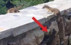 A ferret family climbs over a wall but one stays behind: the ending is adorable !