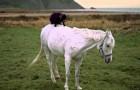 Capretta a cavallo