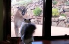 Un puma s'approche de la maison de cette famille : la réaction du chat n'a pas de prix!