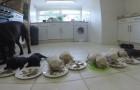 10 chiots de labrador sont prêts pour le dîner : le moment est adorable et ... demande DU TEMPS!