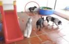 Ils amènent un bouledogue dans un parc de jeux pour chiens... Sa réaction est AU TOP! Wow!