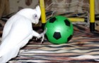 A PARROT with a passion for SOCCER: the combination is HILARIOUS